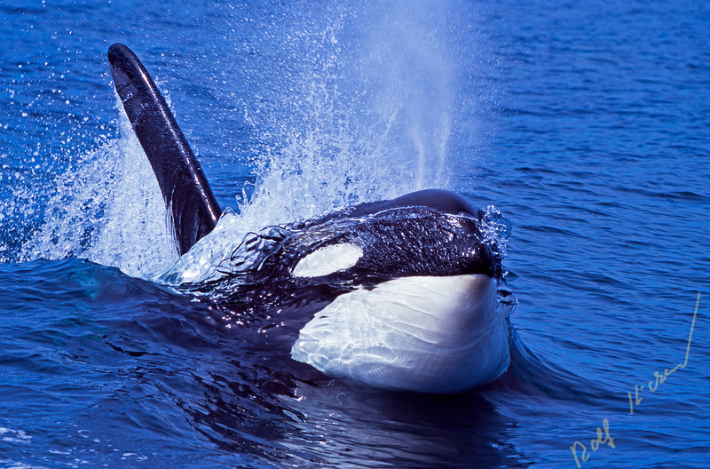 Surfing Orca whale, Killer whale
