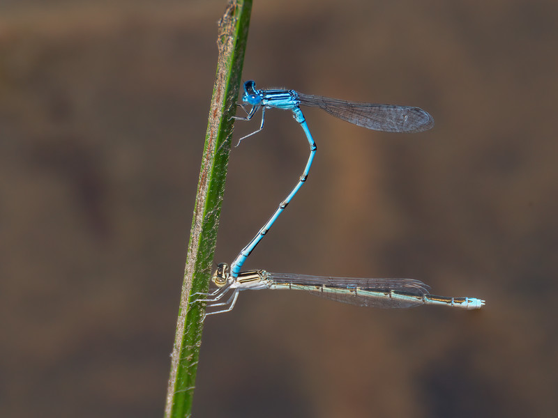 Double-striped Bluet (Enallagma basidens), pair in tandem