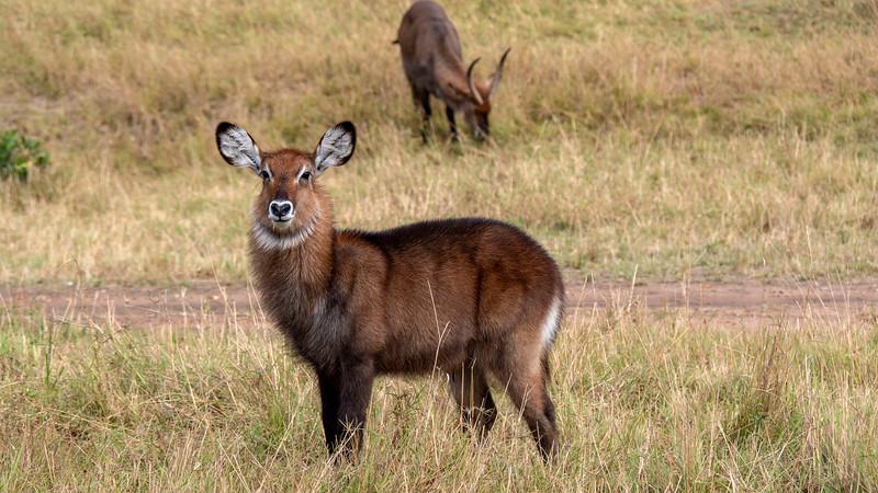 Tanzania-Serengeti-National-Park-Safari-Waterbuck-02.jpg