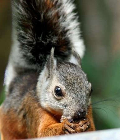 Squirrel, Variegated