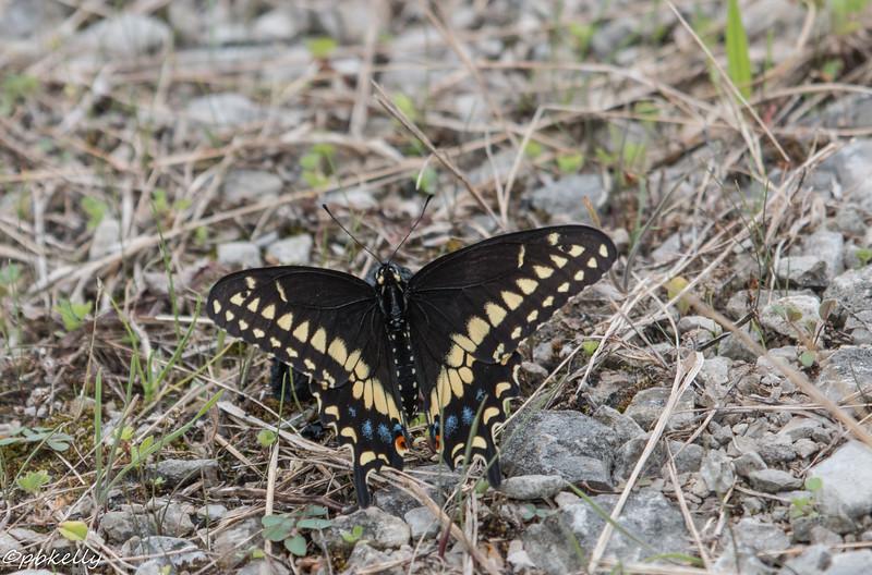 blk swallowtail 072615.jpg