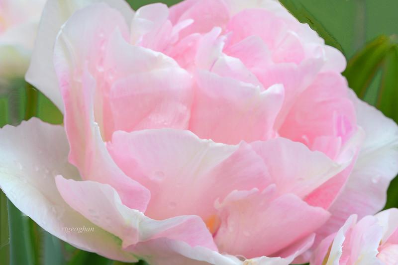 Sweet Pink Tulip