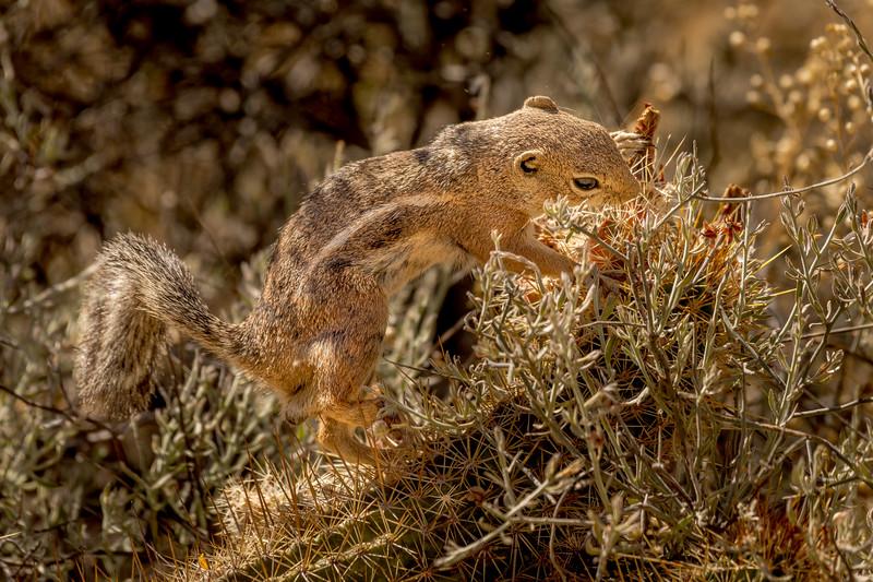 Harris Antelope Squirrel and Cholla Cactus #2