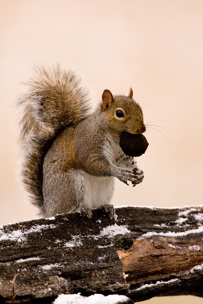 gray_squirrel_eating_in_snow.jpg