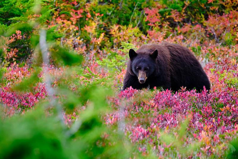 Alpine Berry Bear 9.jpg