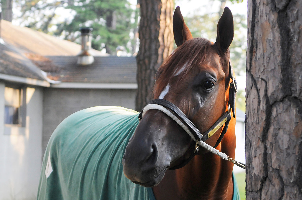 . On the Oklahoma Training Track, Golden Soul is walked outside his barn by groom Albeno Mata. Trainer Dallas Stewart is set to run in the Travers this Saturday at the Saratoga Race Course.Photo Erica Miller/The Saratogian 8/20/13 GoldenSoul1