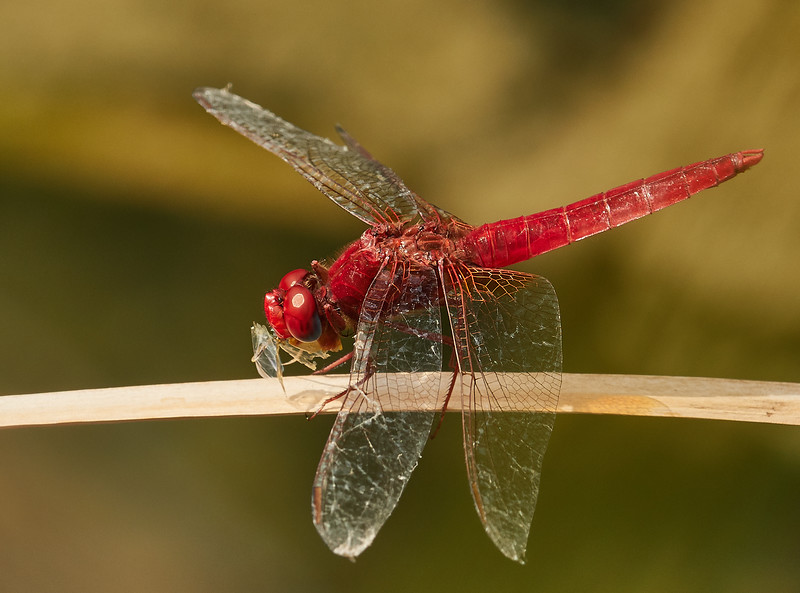 Dragonfly eating a bug