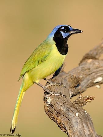 Jays, Crows, Shrikes