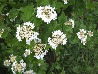 Adoxaceae Desmeknoppsväxter