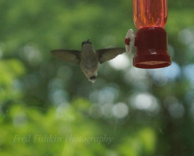 hummingbird arriving.jpg