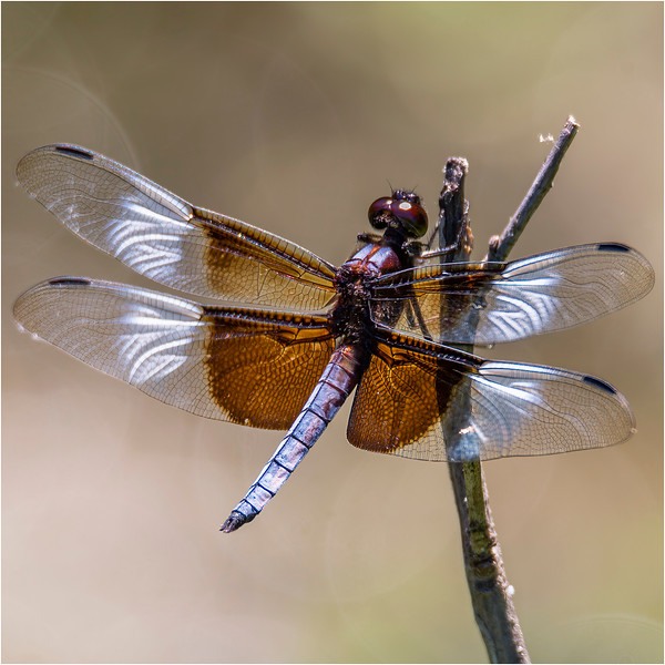 2butterflies_dragonflies.jpg