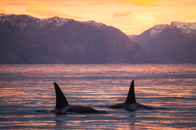 Norway_Orcas-8.jpg