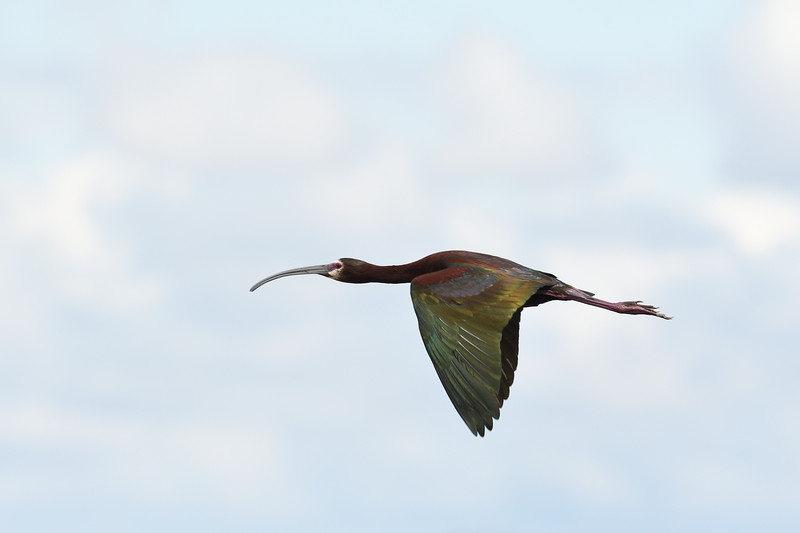 Flight of the Ibis