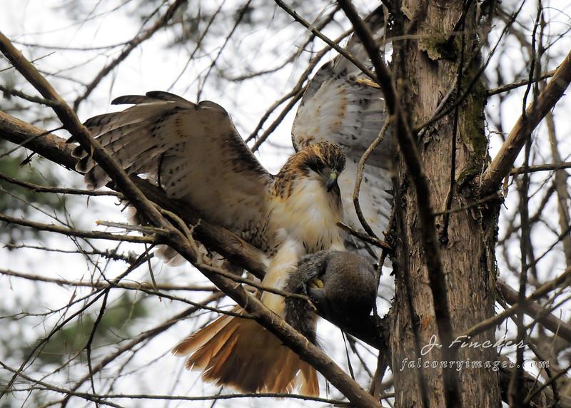 hawk with squirrel in cedar2.jpg
