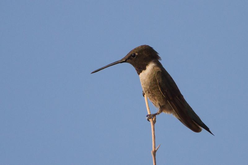 Black-chinned Hummingbird - San Pedro House, Sierra Vista, AZ, USA