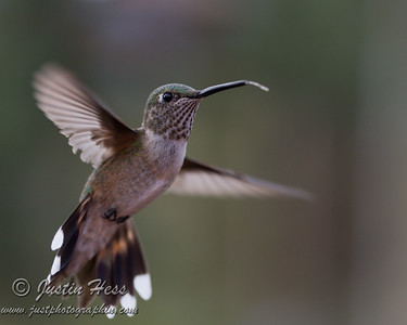 Hummingbirds-in-flight 8-27-2013