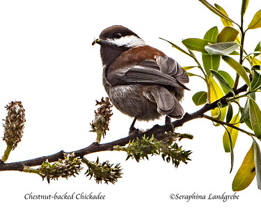 Chickadee, Nuthatches , and Allies