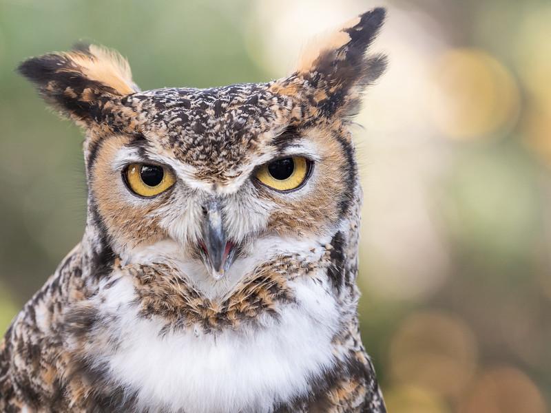 Santa Barbara Museum of Natural History, Great Horned Owl (Bubo virginianus)