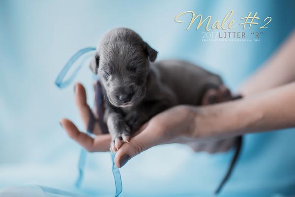 """Greyhounds litter """"R"""" 2 weeks"""