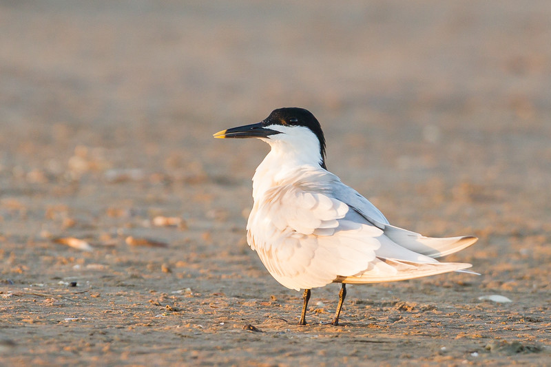 Sandwich Tern - Brownsville, TX, USA