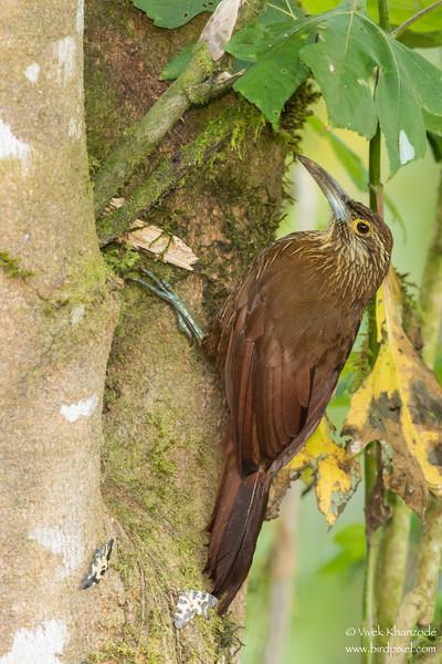 Strong-billed Woodcreeper - Mindo, Ecuador