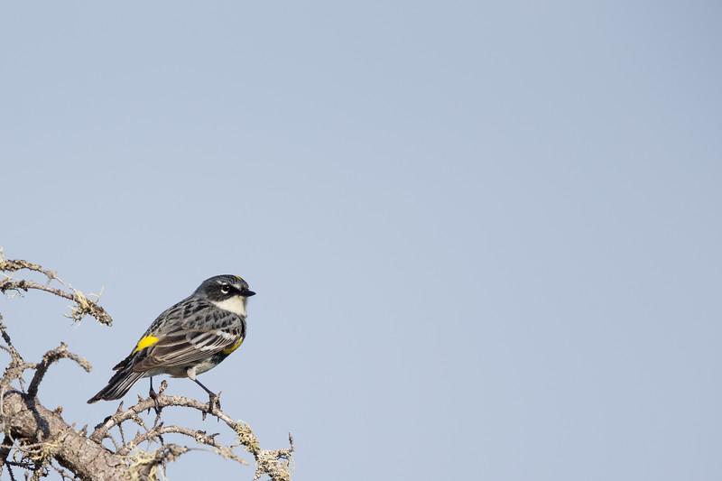 Yellow-rumped Warbler  - Upper Peninsula, MI, USA