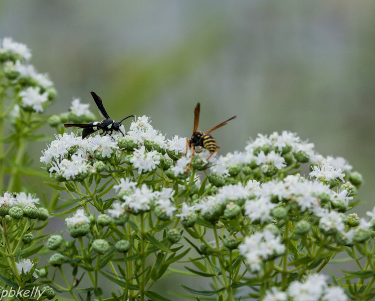 July 10. CSW.  Narrow Leaf Mountain Mint is in bloom all over.  It always attracts a lot of pollinators.  I don't think I ever saw a Four Toothed Mason Wasp, Monobia quadridens, before.