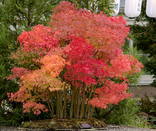 Kiku: The Art of Japanese Chrysanthemum - 2007