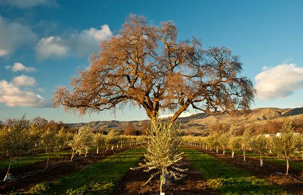 Edible Sacramento Seka Hills Olive Oil