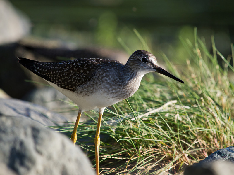 A greater yellowlegs at outer point in North Douglas. I had to bruise up my elbows for the low shot. 7/23/2011