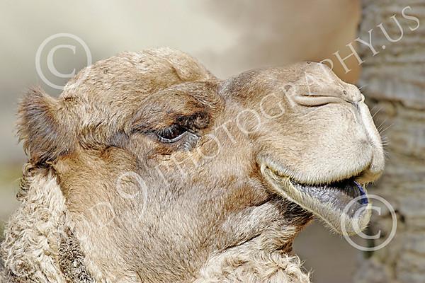 Bactrian Camel Wildlife Photography