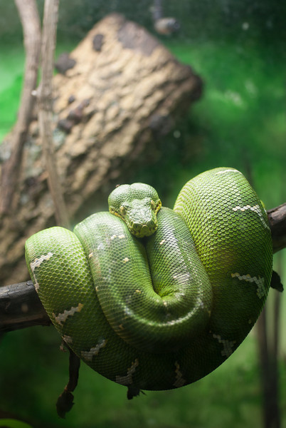 sleeping green snake at philadelphia zoo portrait.jpg