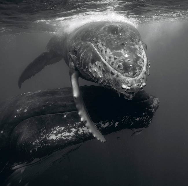 . Humpback whale mother and calf. Photo by Bryant Austin. See more at <a href=\'http://www.studiocosmos.com/limited_editions.html\'>http://www.studiocosmos.com/limited_editions.html</a>.