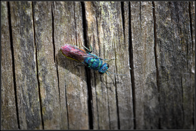 Gewone Goudwesp/Common Cuckoo Wasp