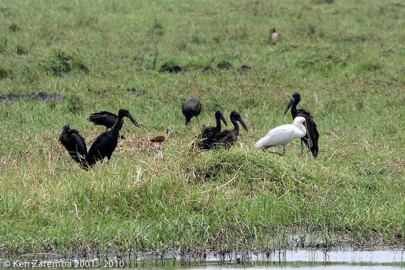 african openbills, an african spoonbill and an african jacana