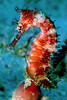 Thorny Seahorse<br /> Philippines Sabang