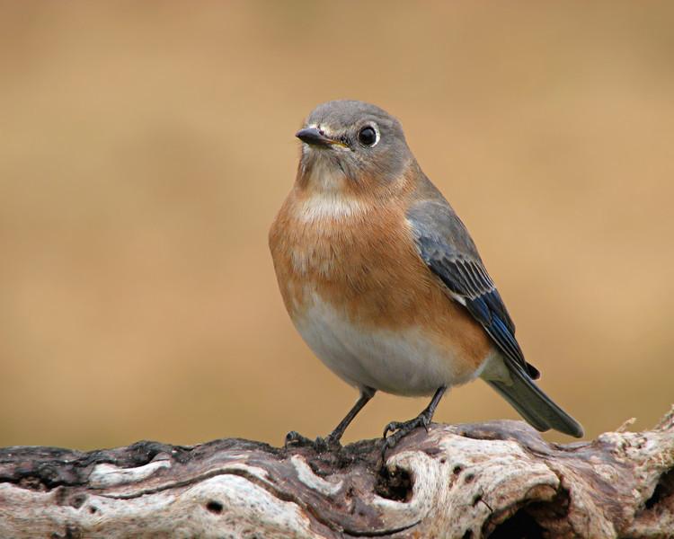 bluebird_1586.jpg