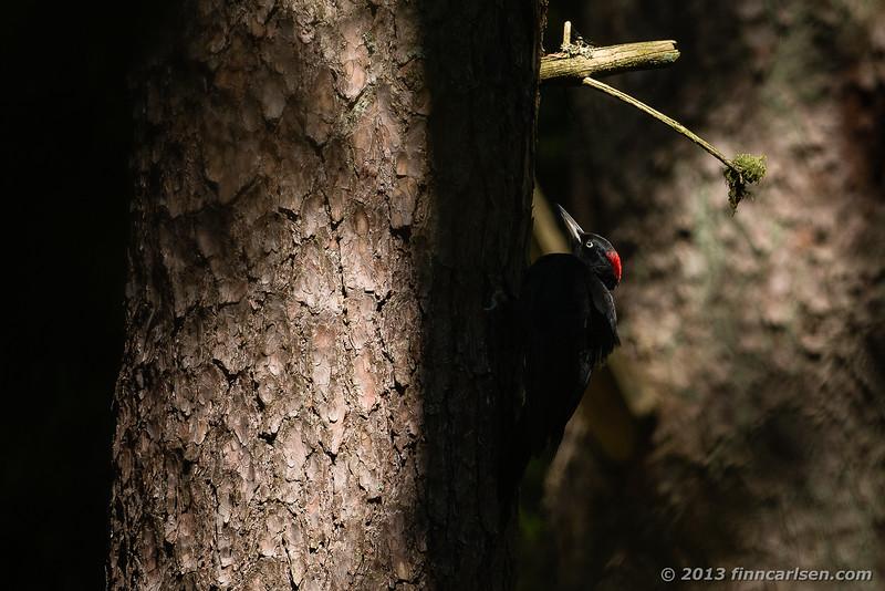 Sortspætte (Black Woodpecker - Dryocopus martius)