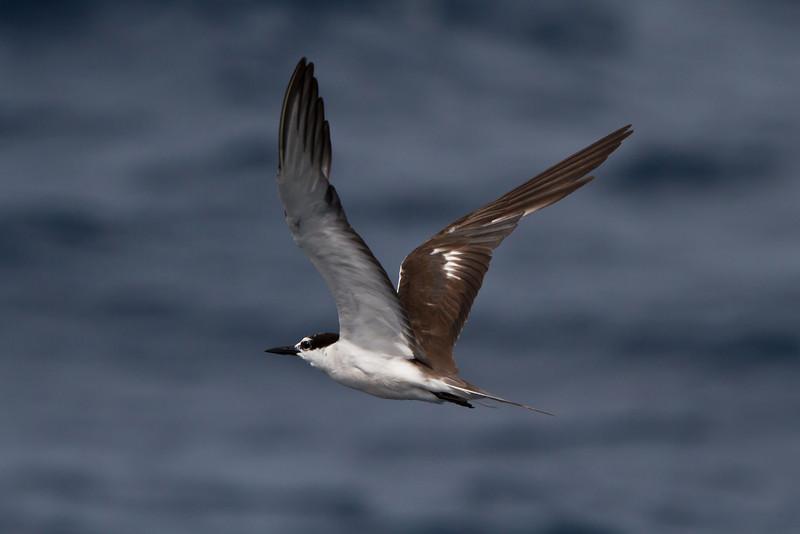 Bridled Tern at Oregon Inlet pelagic trip, NC (08-22-2010) - 388 (08-22-2010)