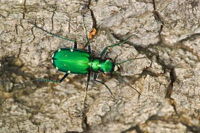Six-spotted Green Tiger Beetle (Cicindela sexguttata), Hampton, VA. © 2006 Kenneth R. Sheide