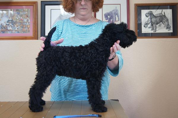 Harper McCoy puppies 12  weeks