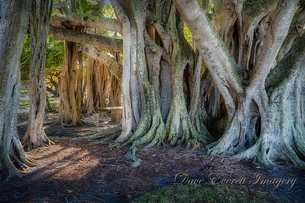 Banyan Trees at the Ringling Museum, Sarasota FL