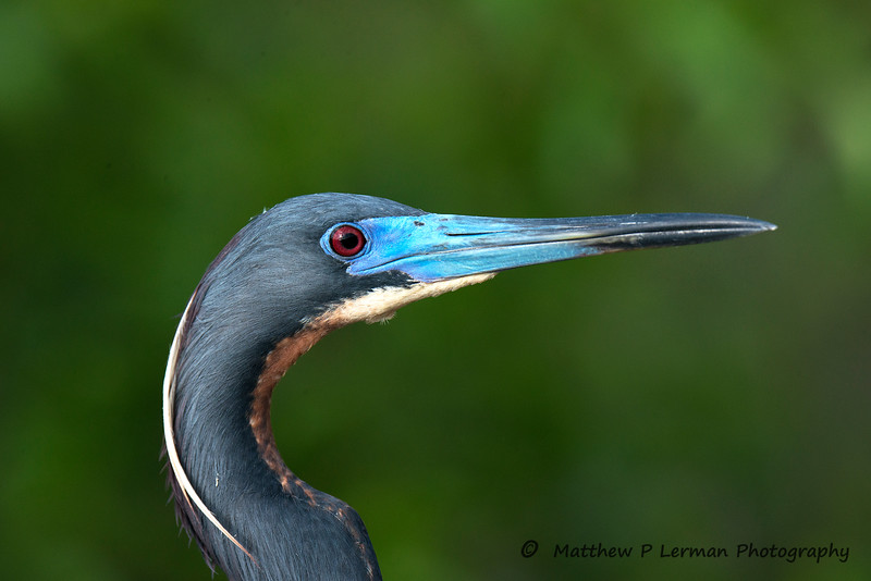 Tricolored Heron Close-up