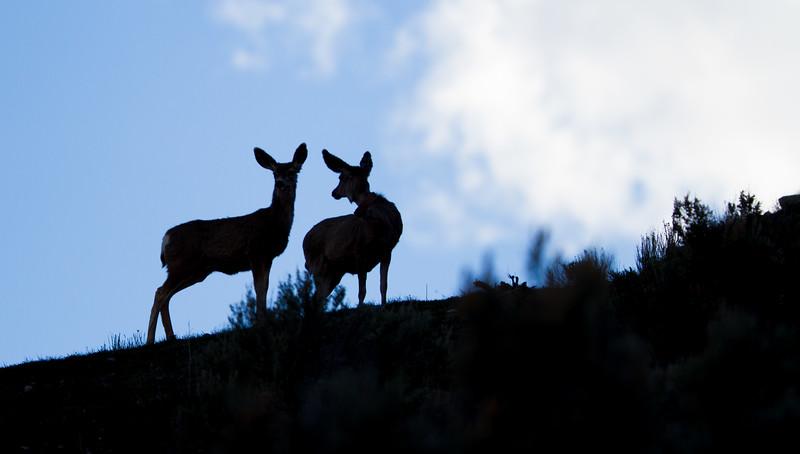 Mule Deer silhouette Yellowstone National Park WY IMG_0814.jpg