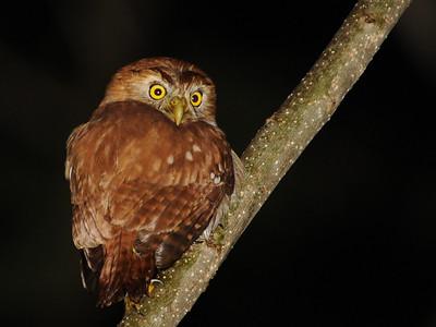 Ridgeway's (Ferruginous) Pygmy-Owl (Glaucidium brasilianum ridgwayi)
