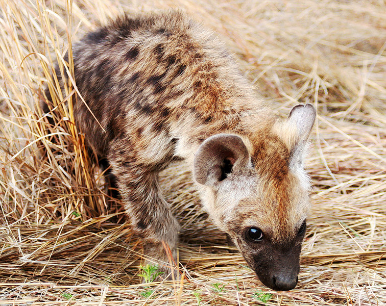 SPOTTED HYENA CUB - SOUTH AFRICA