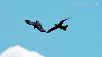 red kite - fight