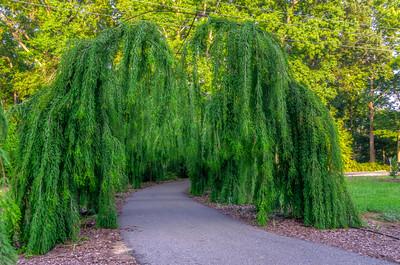 Taxodium distichum 'Cascade Falls' (Cascade Falls Bald Cypress)