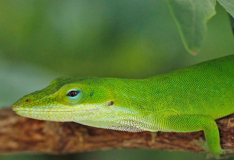 Green Anole 6