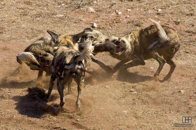 African Painted Dog at the Monarto Zoo